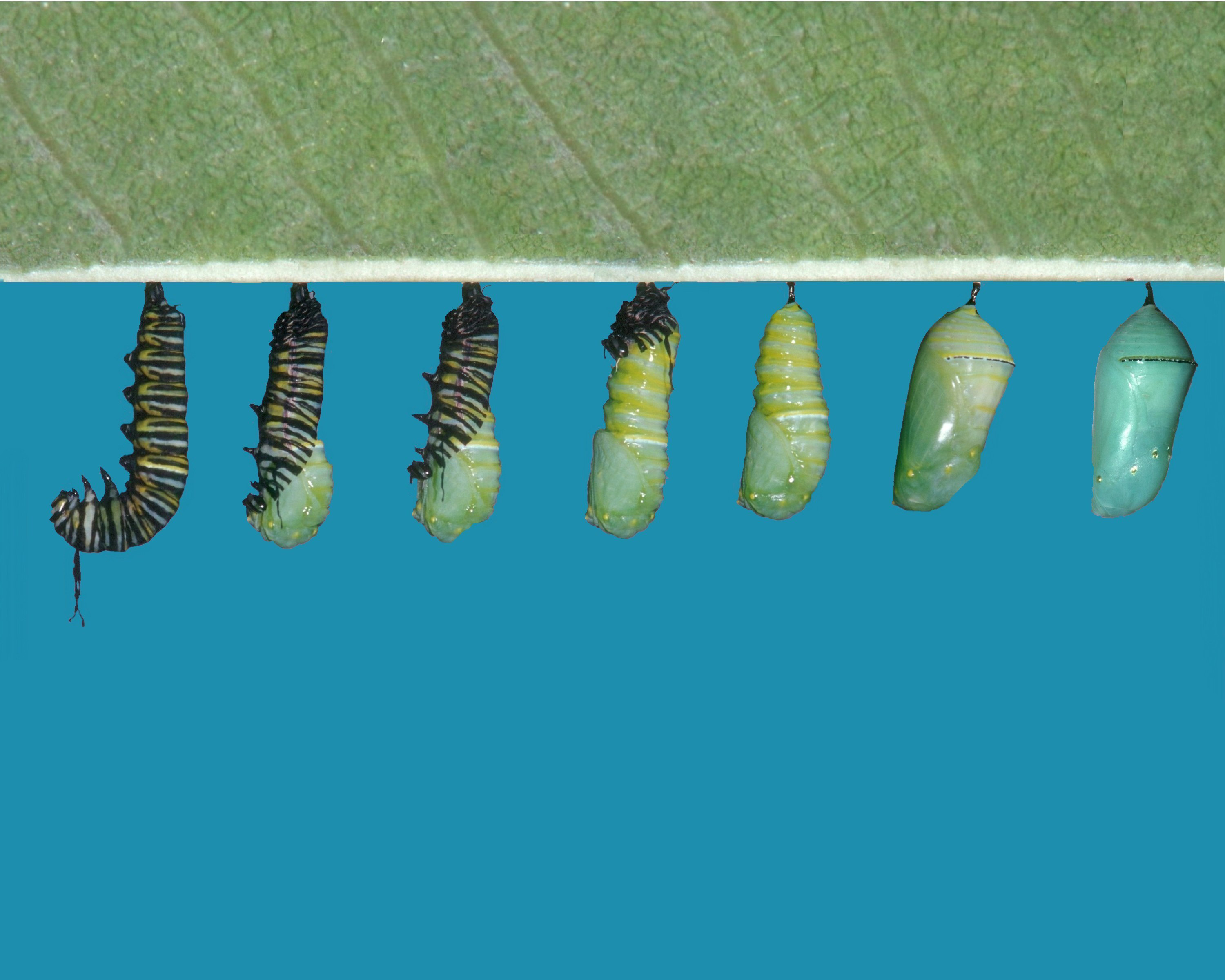 бабочка куколка гусеница картинки