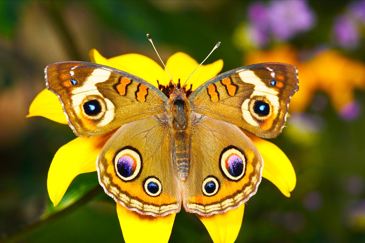 Картинки бабочек красивых цветных - 51de